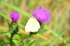 黄色蝴蝶坐紫罗兰色花在俄罗斯西伯利亚 库存照片
