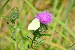 黄色蝴蝶坐紫罗兰色花在俄罗斯西伯利亚 免版税库存图片