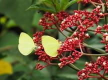 黄色蝴蝶夫妇 免版税库存照片