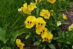 黄色蝴蝶花在草增长 库存图片