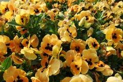 黄色蝴蝶花在韩国 免版税库存照片