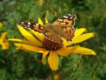 黄色蝶粉花的夫人被绘 库存图片