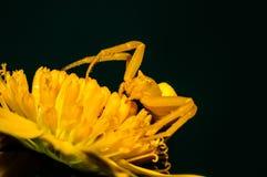 黄色螃蟹蜘蛛 库存照片