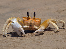 黄色螃蟹 免版税库存图片