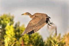黄色被加冠的夜鹭属的飞行 库存图片