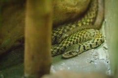黄色被察觉的keelback蛇(Xenochrophis sanctijohanis) Xeno 图库摄影