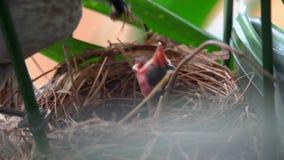 黄色被放气的歌手Pycnonotus喂养在巢鸟的Goiavier新出生的小鸡给食物饥饿的Nestler 敌意 股票录像