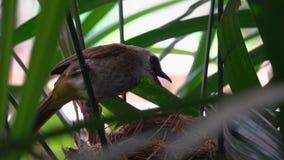 黄色被放气的歌手Pycnonotus喂养在巢鸟的Goiavier新出生的小鸡给食物饥饿的Nestler 敌意 股票视频