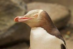 黄色被注视的企鹅,新西兰 库存图片