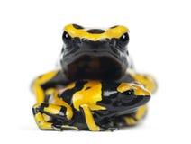 黄色被结合的毒物箭青蛙,亦称黄色带头的P 图库摄影