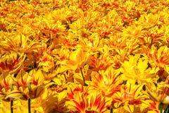黄色装饰郁金香花园草甸 免版税库存照片