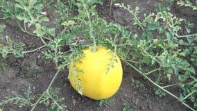 黄色西瓜在庭院里, Ð ³ руР½ Ñ ' 免版税库存图片