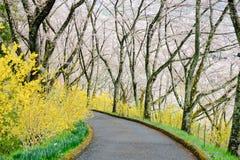 黄色连翘属植物和樱桃树沿走道在柴田,宫城, Tohoku,日本在春天期间 免版税库存图片