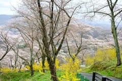黄色连翘属植物和樱桃树沿走道在柴田,宫城, Tohoku,日本在春天期间 免版税图库摄影