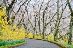 黄色连翘属植物和樱桃树沿走道在柴田,宫城, Tohoku,日本在春天期间 库存图片
