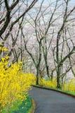 黄色连翘属植物和樱桃树沿走道在Funaoka城堡破坏公园,柴田,宫城, Tohoku,日本在春天期间 免版税图库摄影