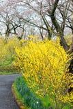 黄色连翘属植物和樱桃树沿走道在Funaoka城堡破坏公园,柴田,宫城, Tohoku,日本在春天期间 库存照片