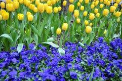 黄色郁金香和蓝色蝴蝶花花圃  免版税图库摄影