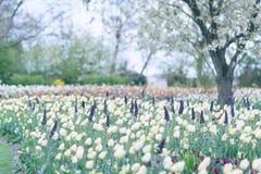 黄色郁金香在开花的公园背景中 选择聚焦 免版税库存照片