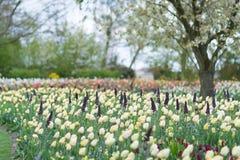 黄色郁金香在开花的公园背景中 选择聚焦 免版税库存图片