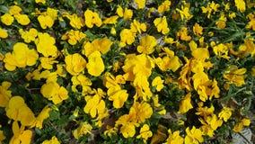 黄色郁金香在春天 库存图片
