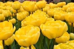 黄色郁金香在春天 免版税库存照片