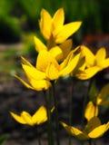 黄色郁金香在阳光下在深绿背景 免版税库存图片