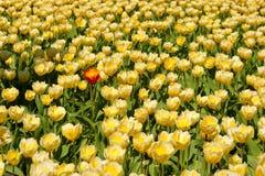 黄色郁金香域,一个红色 免版税库存照片