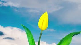 黄色郁金香增长和开花,定期流逝 股票录像