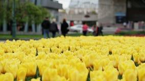 黄色郁金香开花在美丽的公园的,许多花 股票录像