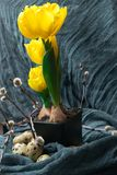 黄色郁金香用在黑罐、杨柳和棉织物的肿胀 复活节构成用鹌鹑蛋 花森林春天白色 图库摄影