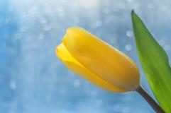 黄色郁金香的一朵大花与一片绿色叶子的和在美好的蓝色背景的一个词根 库存图片