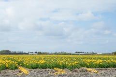 黄色郁金香的开花的花田在荷兰语附近运河的  库存图片