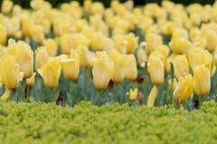 黄色郁金香的领域 免版税库存图片