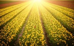 黄色郁金香行开花在领域在荷兰,照亮由阳光 库存图片