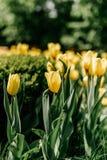 黄色郁金香-与许多的照片花 库存照片