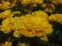 黄色郁金香 图库摄影