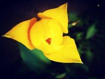 黄色郁金香 库存照片