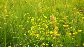 黄色野花在绿草摇摆在草甸在日落 影视素材