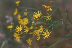 黄色野花的特写镜头绽放在庭院里 免版税库存图片
