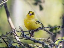 黄色金丝雀, Crithagra flaviventris 库存图片