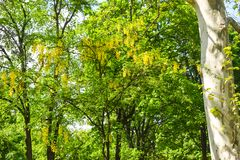 黄色金合欢树在城市公园在一个美好的晴朗的春日 免版税库存照片