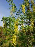 黄色金合欢树 免版税库存照片