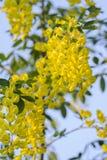 黄色金莲花在被看见的蓝天开花 免版税库存照片