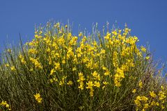 黄色金雀花junceum植物 免版税库存图片