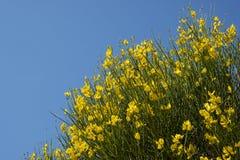 黄色金雀花junceum植物 免版税库存照片