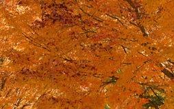 黄色铁锈槭树细节视图  免版税库存照片