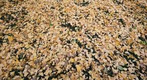 黄色银杏树叶子在草地板上落在美济礁津沽Gaien公园,东京-日本 免版税库存照片