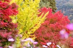 黄色银杏树叶子树和红槭树的样式 库存图片