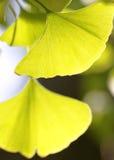 黄色银杏树叶子 免版税图库摄影
